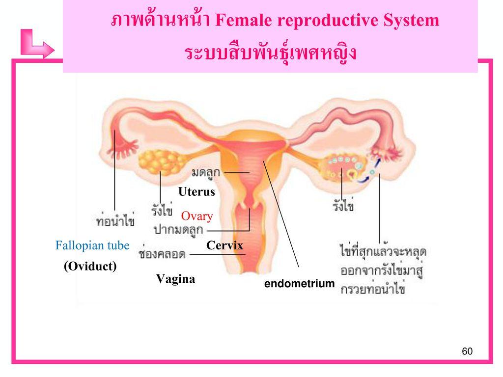 Male reproductive System ระบบสืบพันธุ์เพศชาย