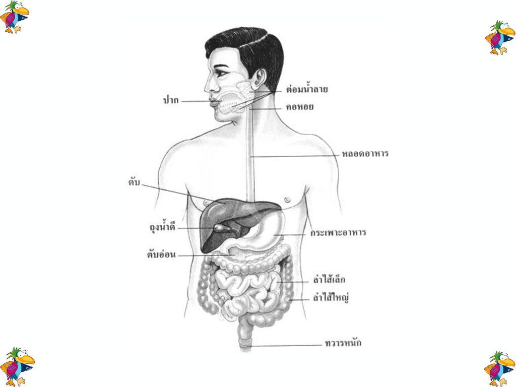 อวัยวะทางเดินอาหาร (alimentary canal organ)