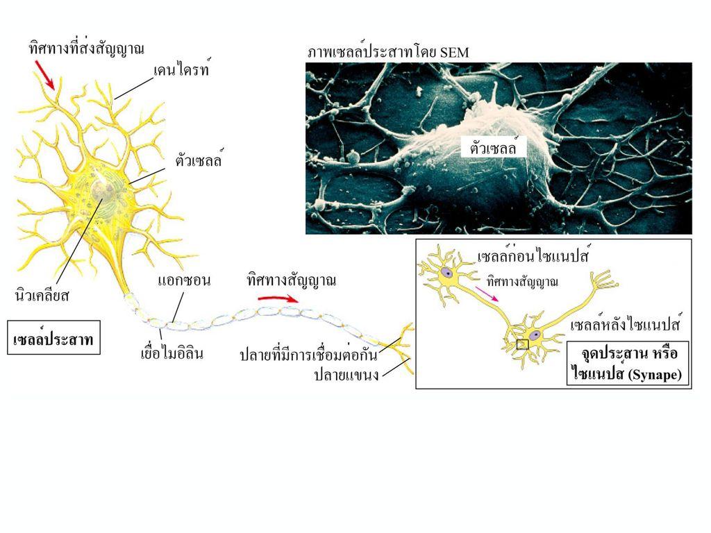 เซลลประสาท (neuron หรือ nerve cell)