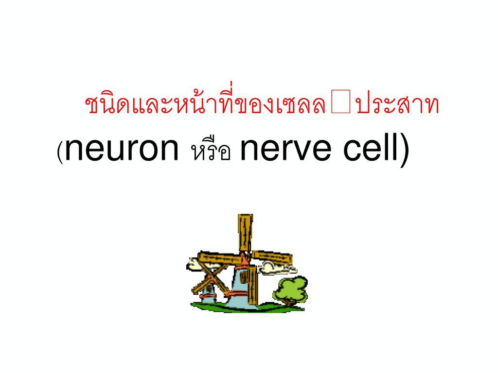 ใยประสาท (nerve fiber)