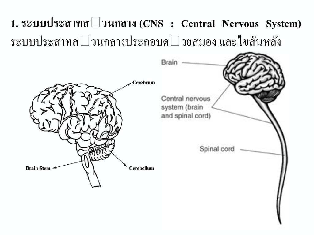 3.เซลล์ประสาทประสานงาน (association neuron, Internuerons) ทำหน้าที่รับกระแสประสาทจากเซลล์ประสาทรับความรู้สึกแล้วส่งให้เซลล์ประสาทคำสั่ง ดังนั้น ตำแหน่งของเซลล์ชนิดนี้จึงอยู่ภายในสมองและไขสันหลัง ใยประสาทของเซลล์ประสาทประสานงาน