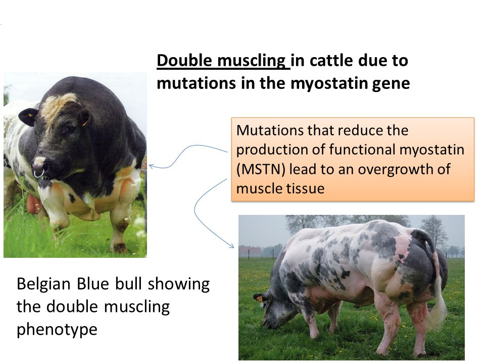 Double muscling in cattle due to mutations in the myostatin gene