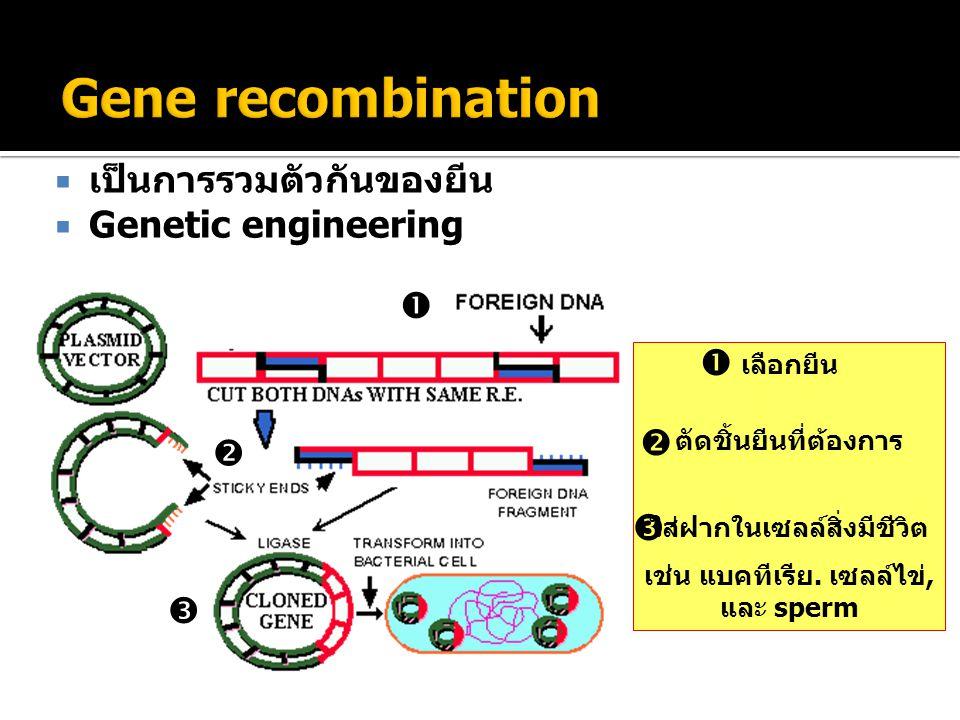 Gene recombination เป็นการรวมตัวกันของยีน Genetic engineering    