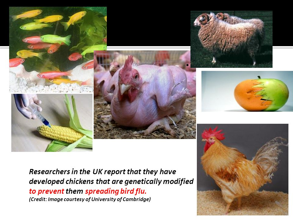 Researchers in the UK report that they have developed chickens that are genetically modified to prevent them spreading bird flu.