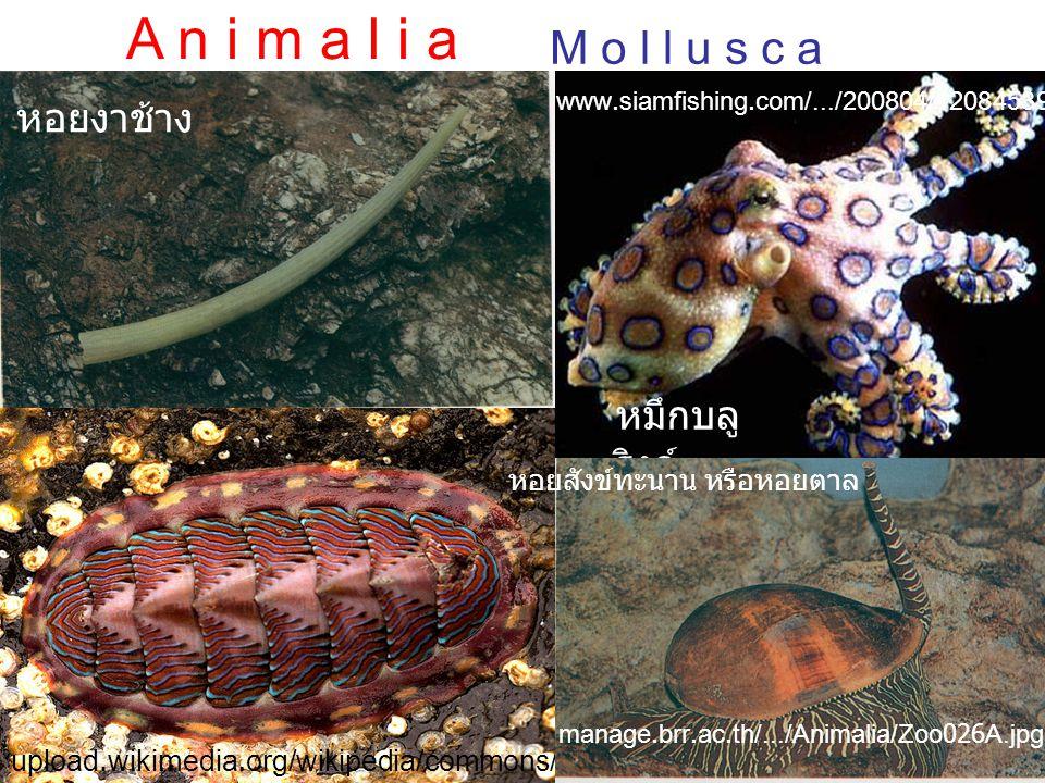 หอยสังข์ทะนาน หรือหอยตาล