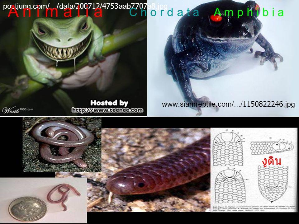 A n i m a l i a C h o r d a t a A m p h i b i a งูดิน
