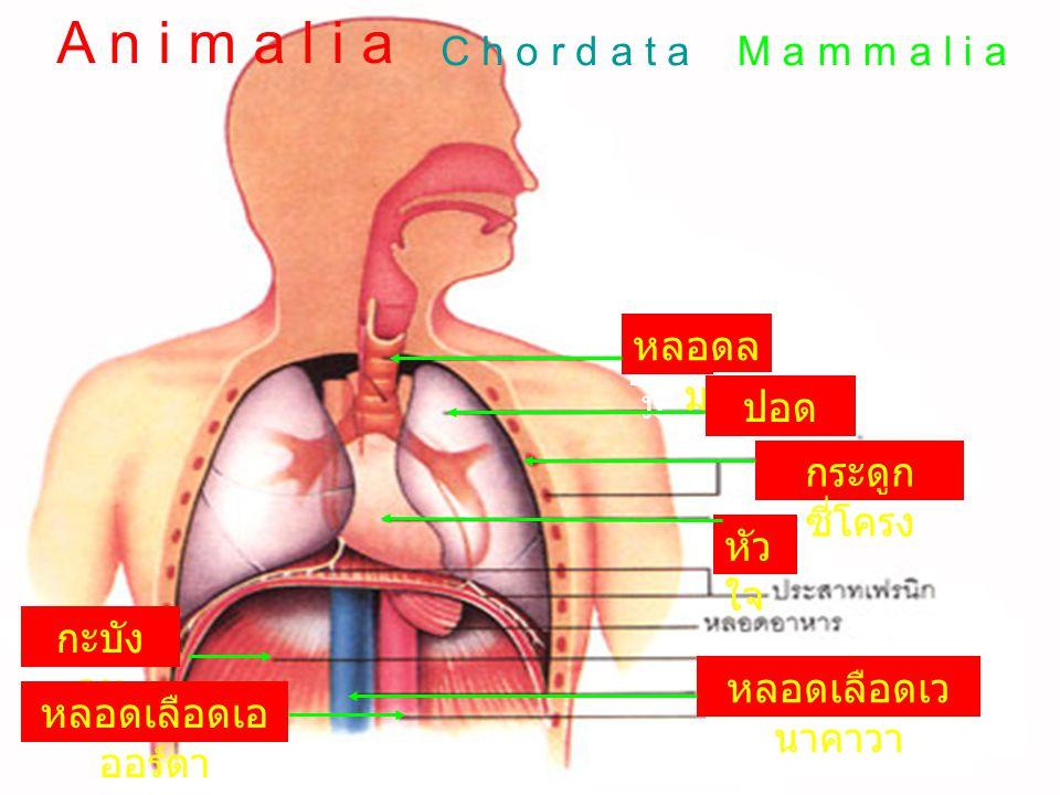 A n i m a l i a C h o r d a t a M a m m a l i a หลอดลม หลอดลม ปอด ปอด