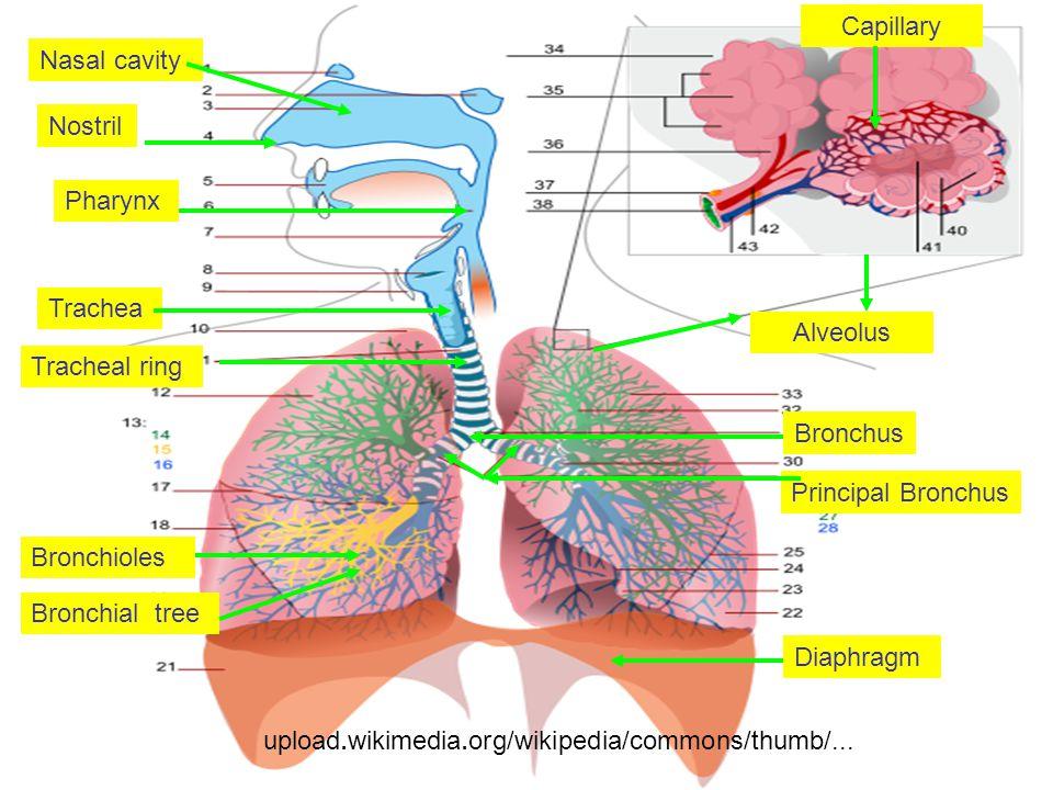 Capillary Nasal cavity. Nostril. Pharynx. Trachea. Alveolus. Tracheal ring. Bronchus. Principal Bronchus.