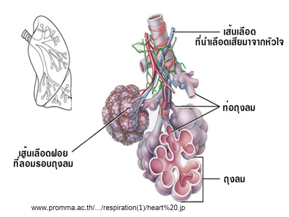 www.promma.ac.th/.../respiration(1)/heart%20.jp