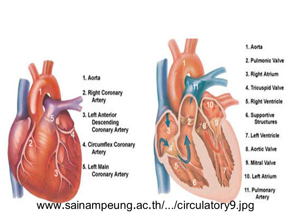 www.sainampeung.ac.th/.../circulatory9.jpg