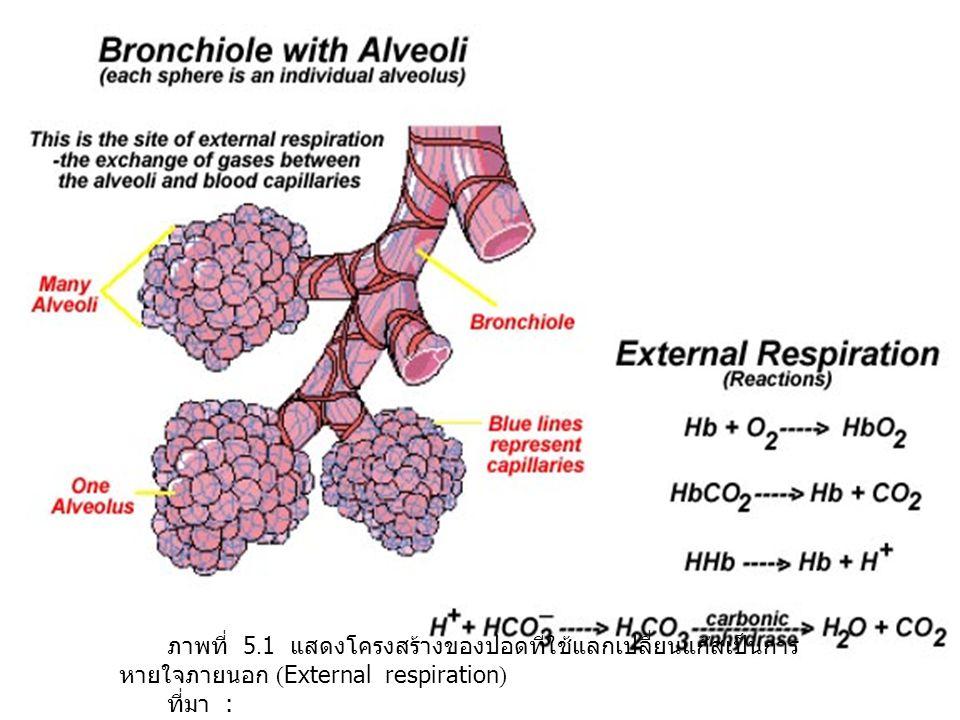 ภาพที่ 5.1 แสดงโครงสร้างของปอดที่ใช้แลกเปลี่ยนแก๊สเป็นการหายใจภายนอก (External respiration)