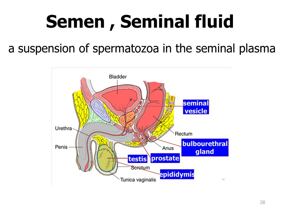 Semen , Seminal fluid a suspension of spermatozoa in the seminal plasma 38