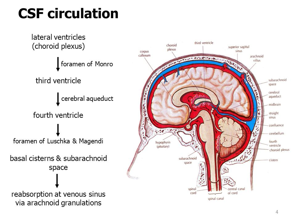 CSF circulation lateral ventricles (choroid plexus) foramen of Monro