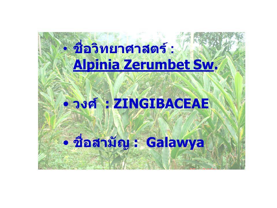 ชื่อวิทยาศาสตร์ : Alpinia Zerumbet Sw.