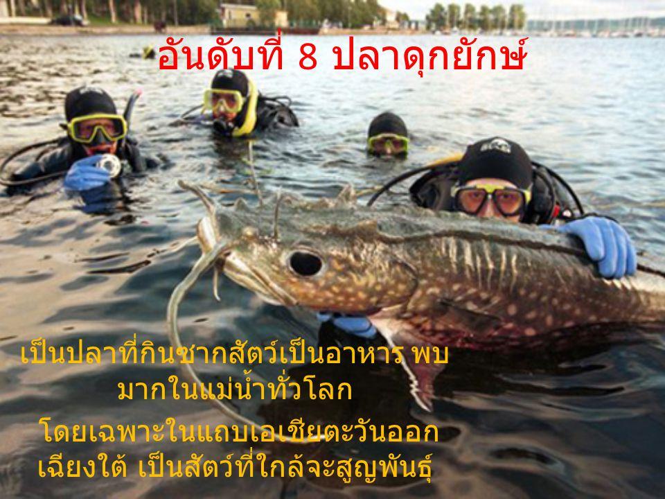 อันดับที่ 8 ปลาดุกยักษ์