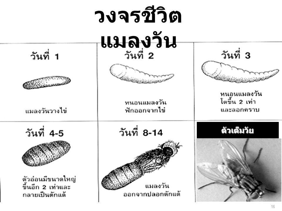 วงจรชีวิตแมลงวัน ตัวเต็มวัย