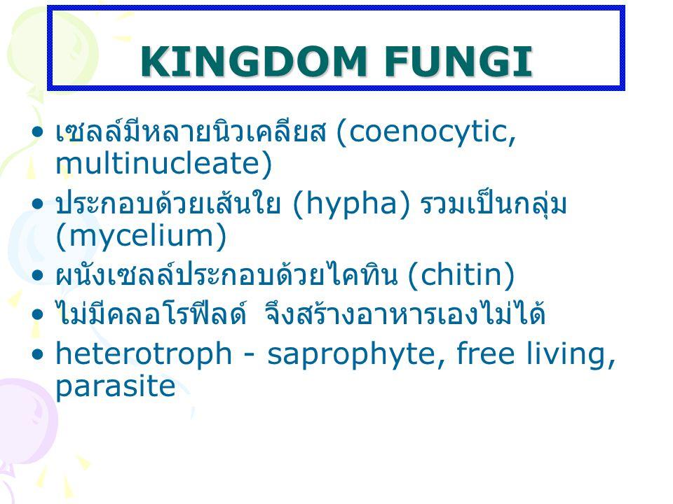 KINGDOM FUNGI เซลล์มีหลายนิวเคลียส (coenocytic, multinucleate)