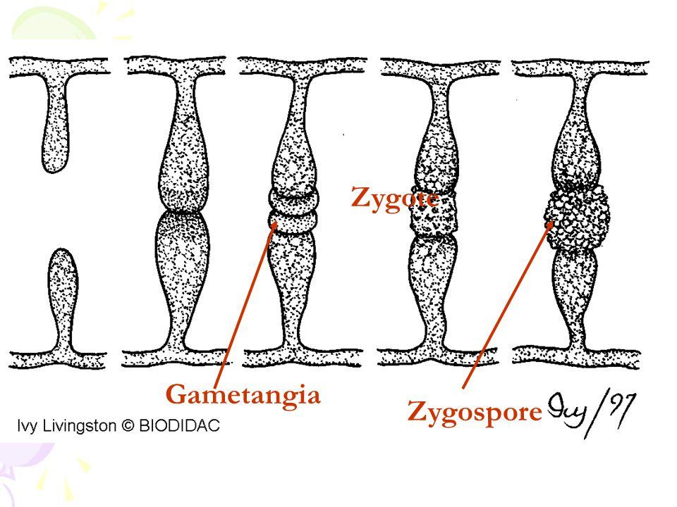 Zygote Gametangia Zygospore