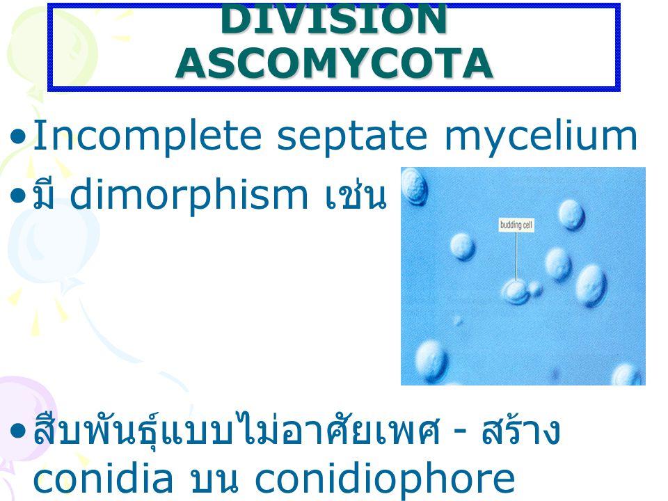 DIVISION ASCOMYCOTA Incomplete septate mycelium.