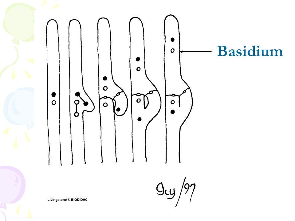 Basidium