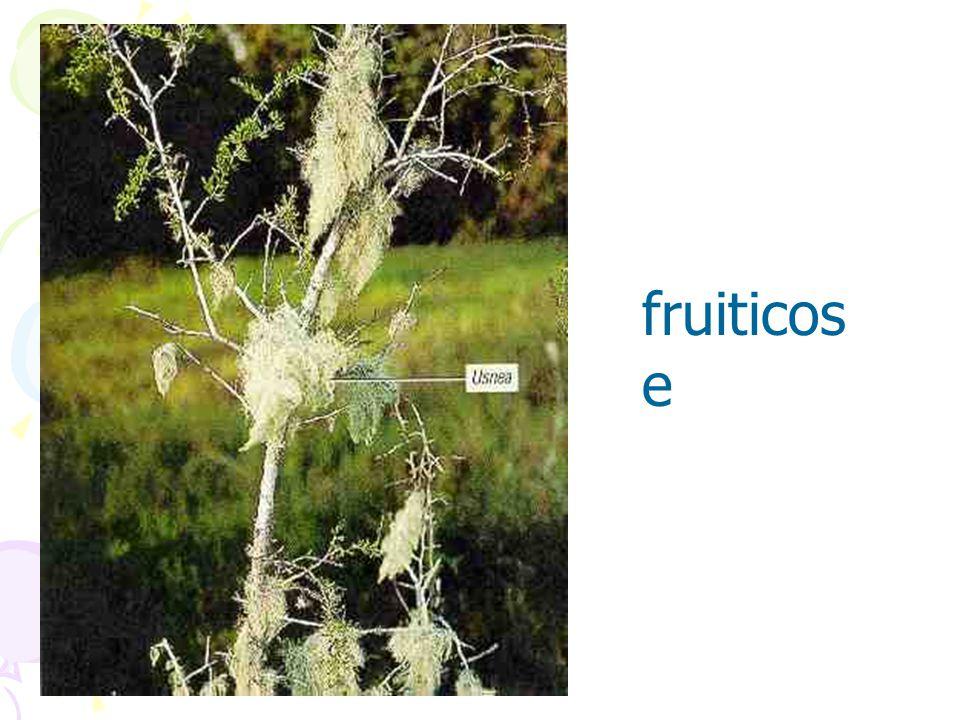 fruiticose