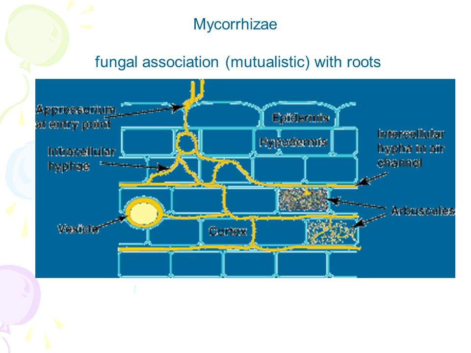 fungal association (mutualistic) with roots