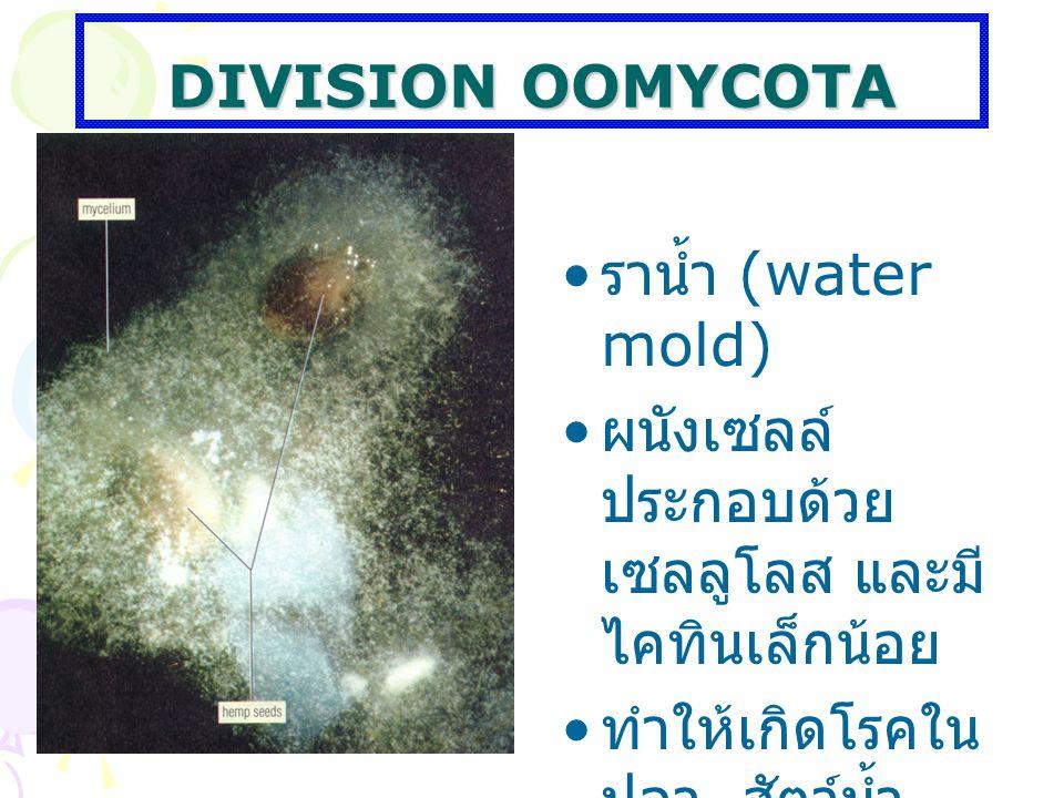 DIVISION OOMYCOTA ราน้ำ (water mold) ผนังเซลล์ประกอบด้วยเซลลูโลส และมีไคทินเล็กน้อย.