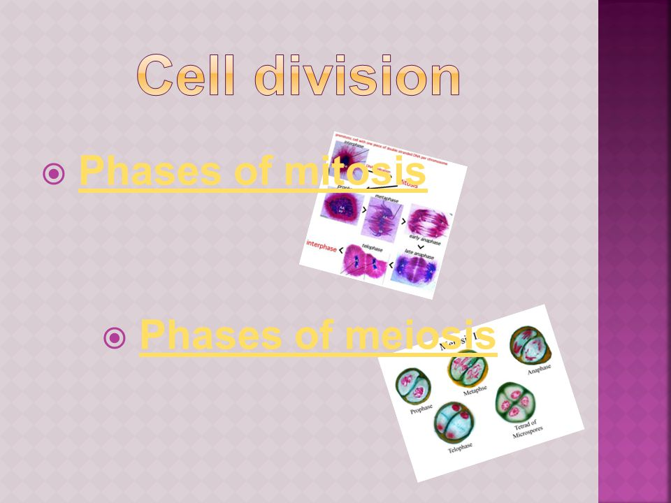 Cell division Phases of mitosis Phases of meiosis