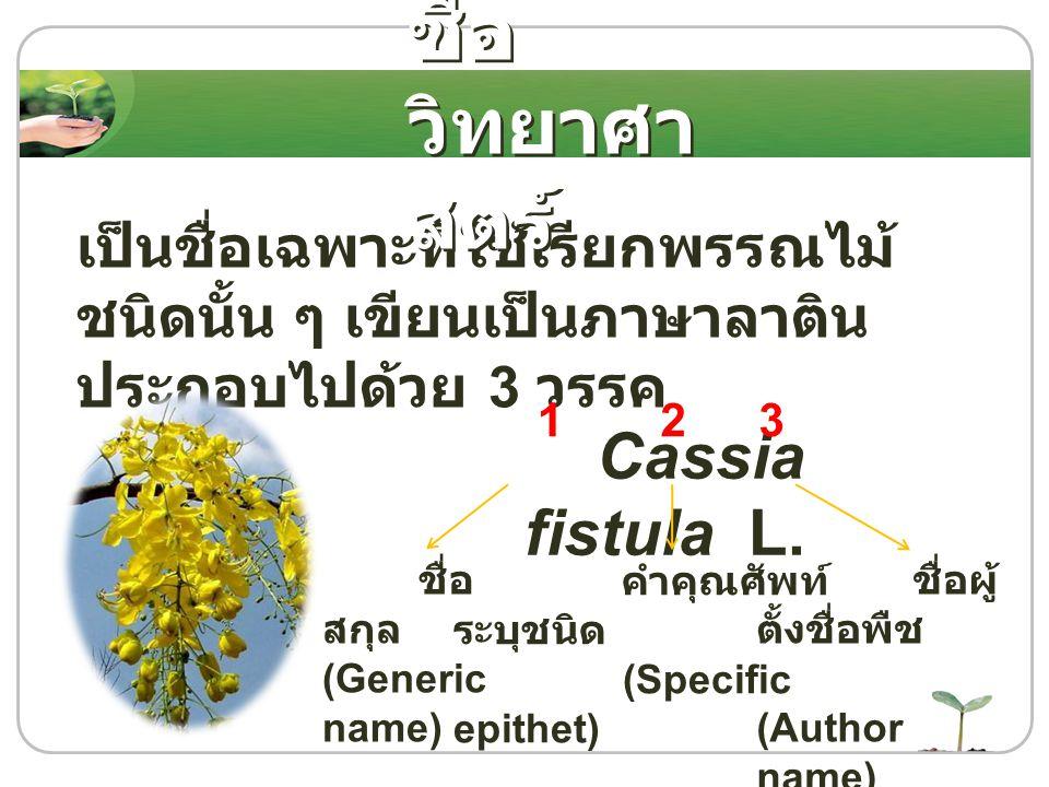 ชื่อวิทยาศาสตร์ Cassia fistula L.