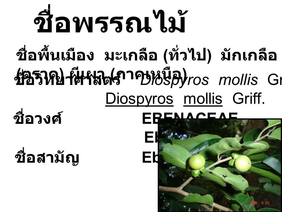 ชื่อพรรณไม้ ชื่อพื้นเมือง มะเกลือ (ทั่วไป) มักเกลือ (ตราด) ผีเผา (ภาคเหนือ) ชื่อวิทยาศาสตร์ Diospyros mollis Griff.