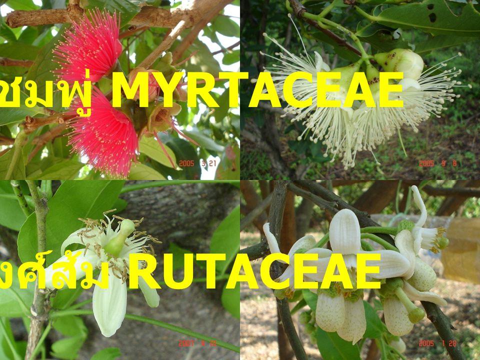 วงศ์ชมพู่ MYRTACEAE วงศ์ส้ม RUTACEAE