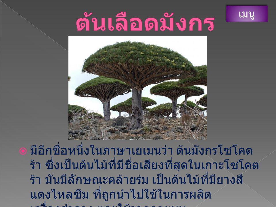 ต้นเลือดมังกร เมนู