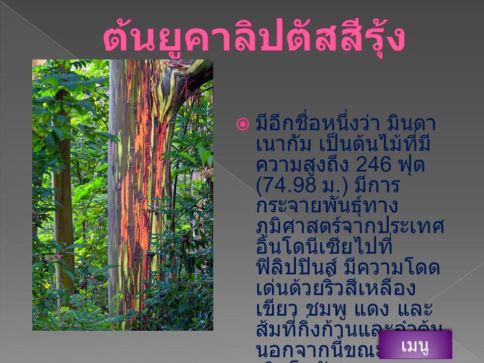 ต้นยูคาลิปตัสสีรุ้ง