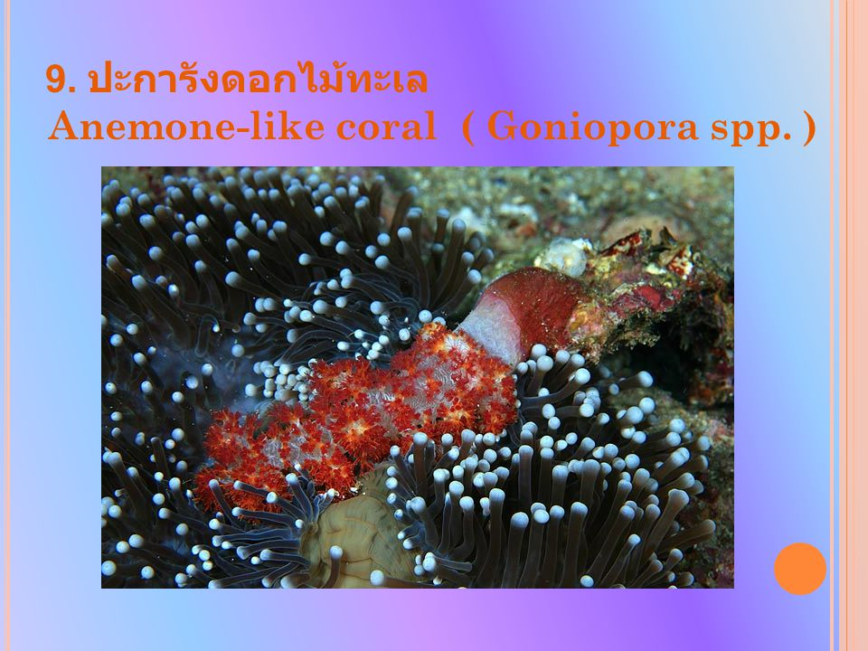 Anemone-like coral ( Goniopora spp. )