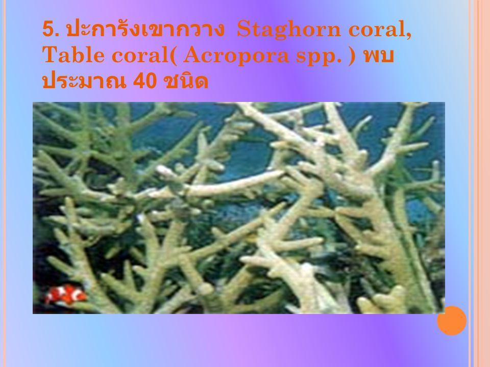 5. ปะการังเขากวาง Staghorn coral, Table coral( Acropora spp