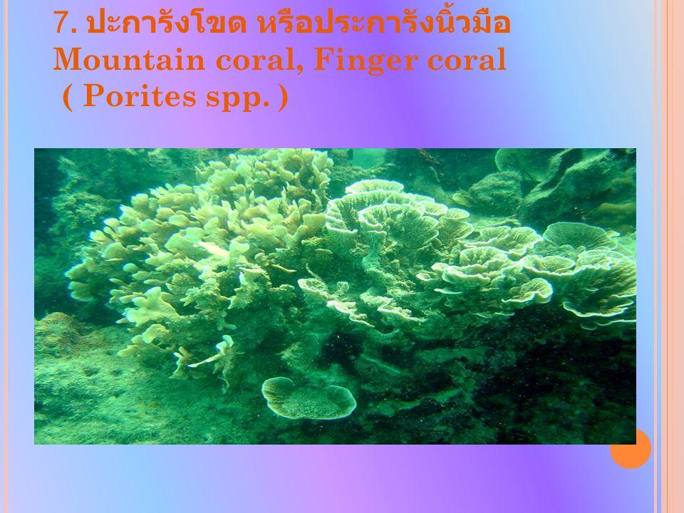 7. ปะการังโขด หรือประการังนิ้วมือ