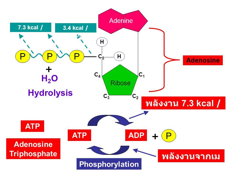 Adenosine Triphosphate พลังงานจากเมแทบอลิซึม