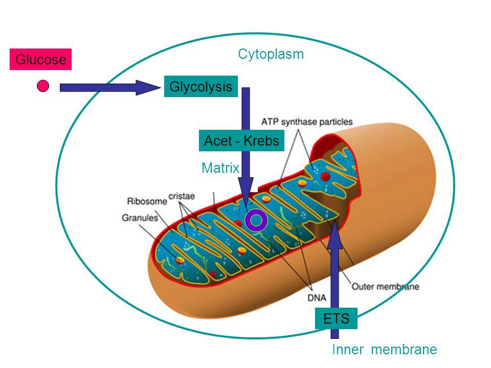 Cytoplasm Glucose Glycolysis Acet - Krebs Matrix ETS Inner membrane