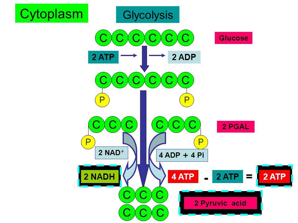 Cytoplasm - Glycolysis C C C C C C C C C C C C C C C C C C = C C C C C