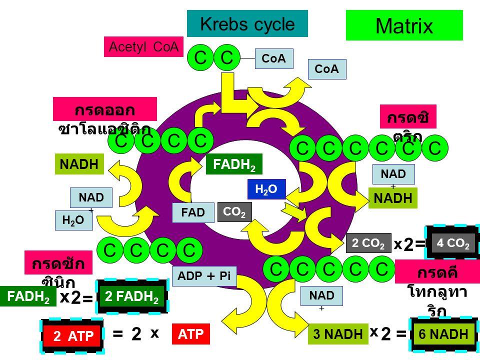 Matrix Krebs cycle C C C C C C C C C C C C 2 = C C C C C C C C C x 2 =