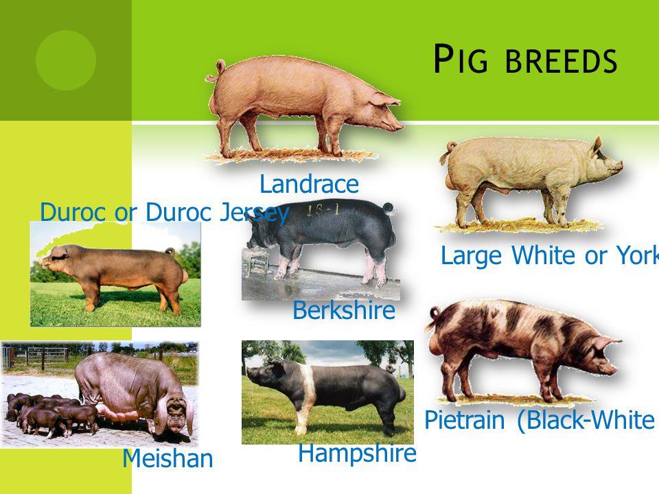Pig breeds Landrace Duroc or Duroc Jersey Large White or Yorkshire