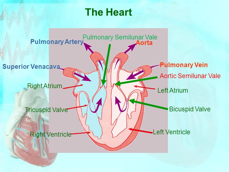 Pulmonary Semilunar Vale