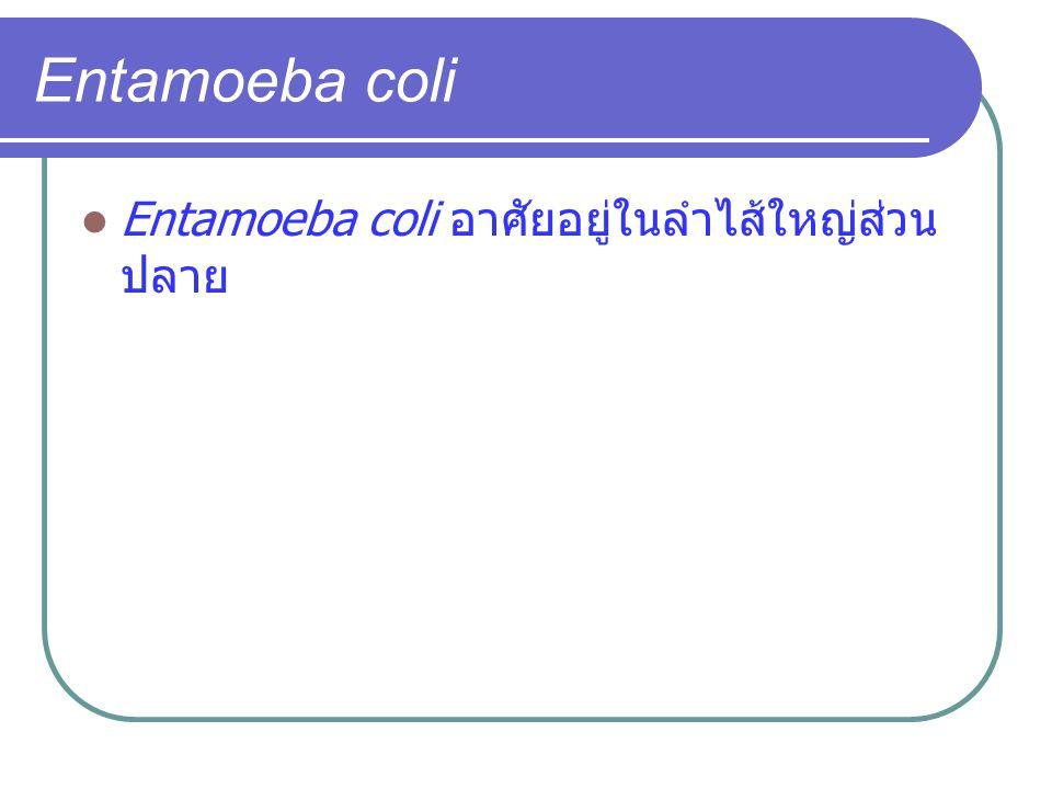 Entamoeba coli Entamoeba coli อาศัยอยู่ในลำไส้ใหญ่ส่วนปลาย