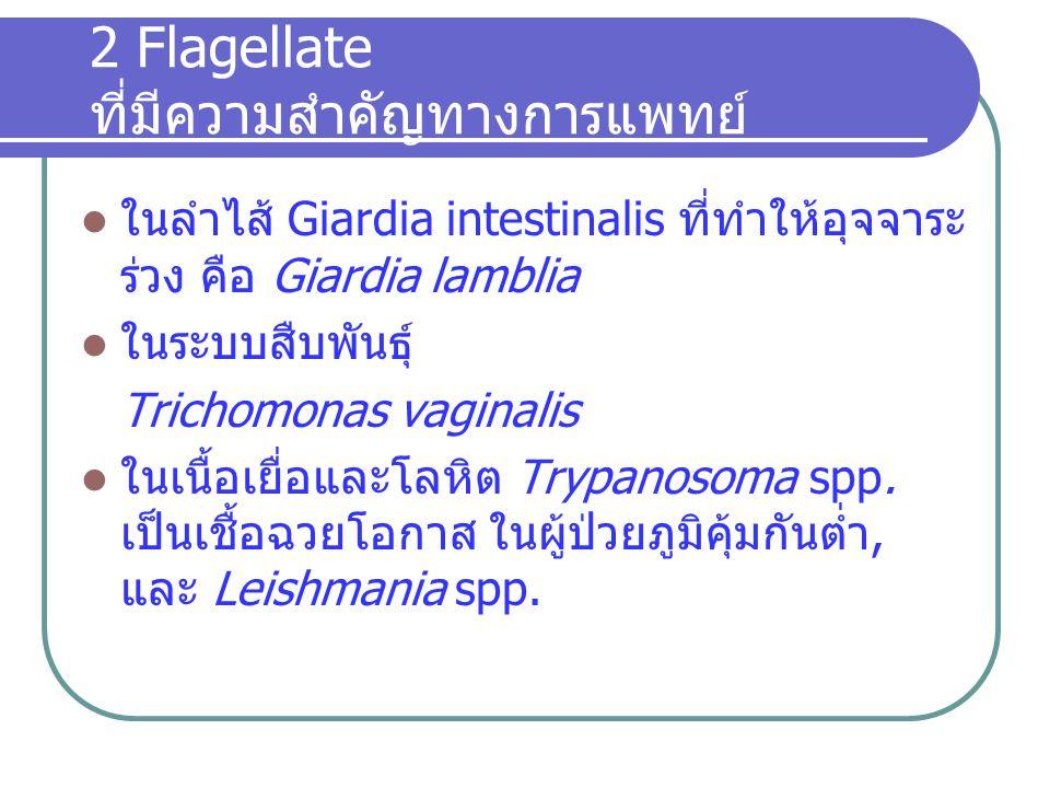 2 Flagellate ที่มีความสำคัญทางการแพทย์