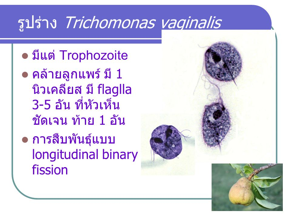 รูปร่าง Trichomonas vaginalis