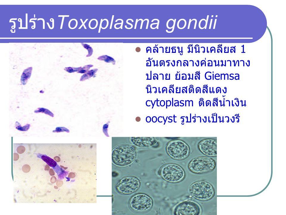 รูปร่างToxoplasma gondii