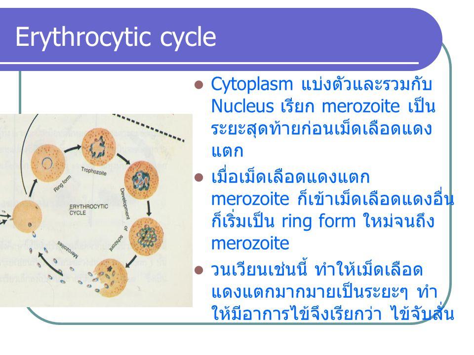 Erythrocytic cycle Cytoplasm แบ่งตัวและรวมกับ Nucleus เรียก merozoite เป็นระยะสุดท้ายก่อนเม็ดเลือดแดงแตก.