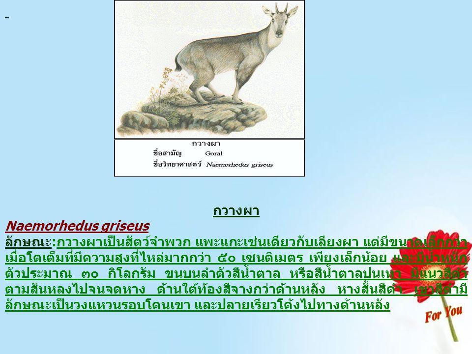 กวางผา Naemorhedus griseus