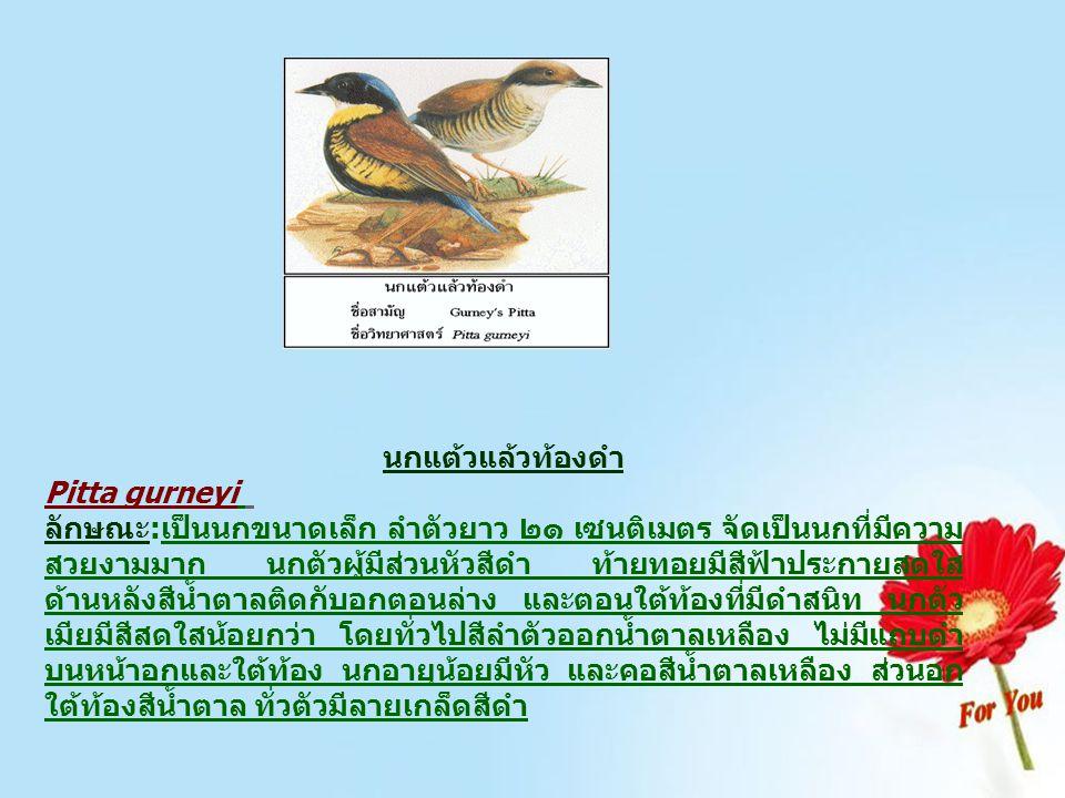 นกแต้วแล้วท้องดำ Pitta gurneyi