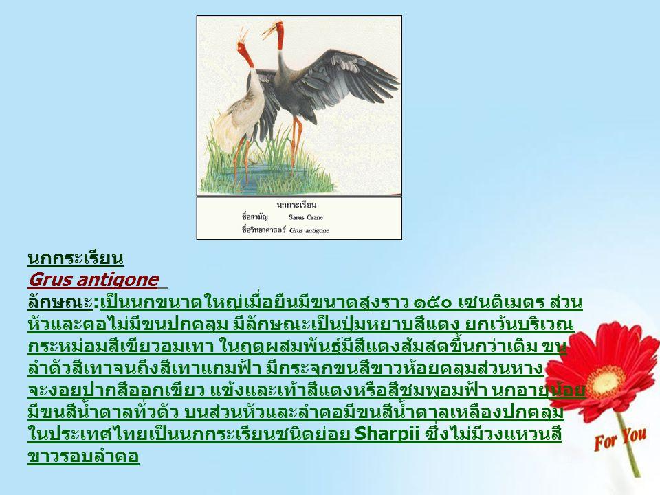 นกกระเรียน Grus antigone